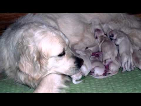 Golden Retriever Welpen In Grossenhain Youtube