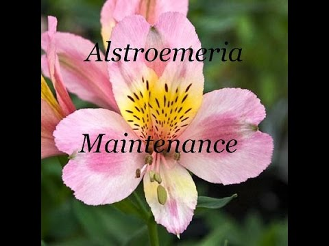 Alstroemeria Bed Maintenance and adding Stronger Supports