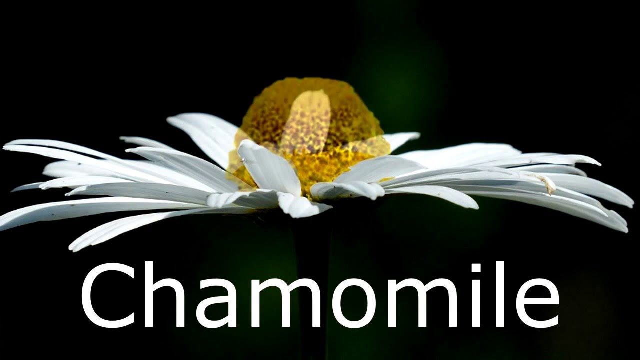 What is the difference in the looks of chamomile and daisy step by what is the difference in the looks of chamomile and daisy step by step izmirmasajfo