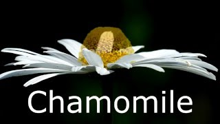 Gambar cover What is the difference in the looks of Chamomile and daisy (step by step)