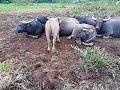 香港野生動物   水牛  如何是好 Wildlife in Hong Kong   Buffalo   What to do