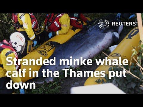 Stranded minke whale calf in the Thames put down