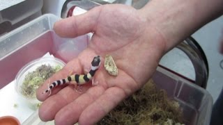 Gecko léopard naissant