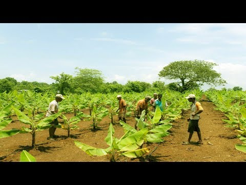 Starting a Business - How to Start a Business Banana Farm and Banana Plantation