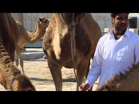 Qatar Doha Marché aux dromadaires / Doha Qatar Camel Market