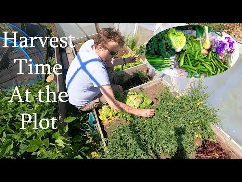 Allotment Diary : Mid July Vegetable Harvest Time!!