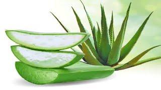 زراعة وانتاج صبار الالوفيرا في المنزل how to propagate aloe Vera at home