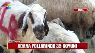 Adana yollarında 35 koyun!