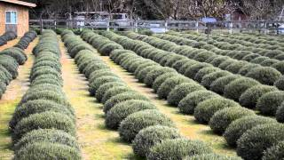 Lavender farm where we buy our essential oil