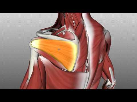 Shoulder: Rotator Cuff