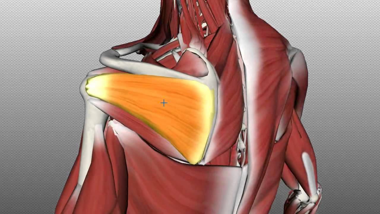 Rotator Cuff Tutorial - Anatomy Tutorial - YouTube