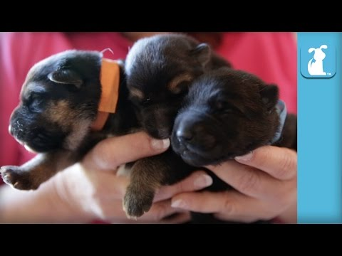 5 Day Old German Shepherd Puppies, So Amazing  Puppy Love