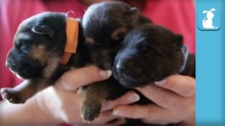 5 Day Old German Shepherd Puppies, So Amazing - Puppy Love