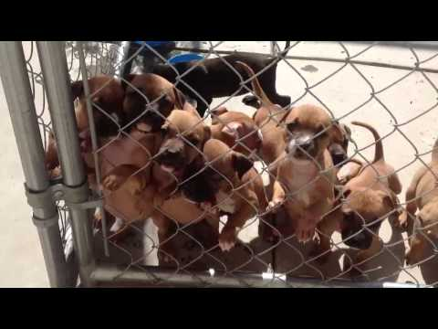 Little pitbull puppies want their mommy
