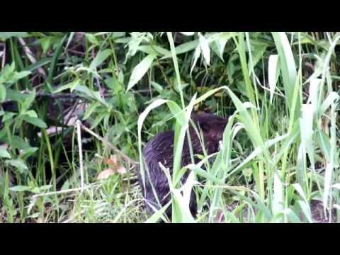 Wild Beaver Kit Feeding Peacefully On A Riverbank