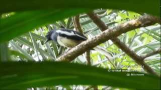 Oriental magpie robin - นกกางเขนบ้าน