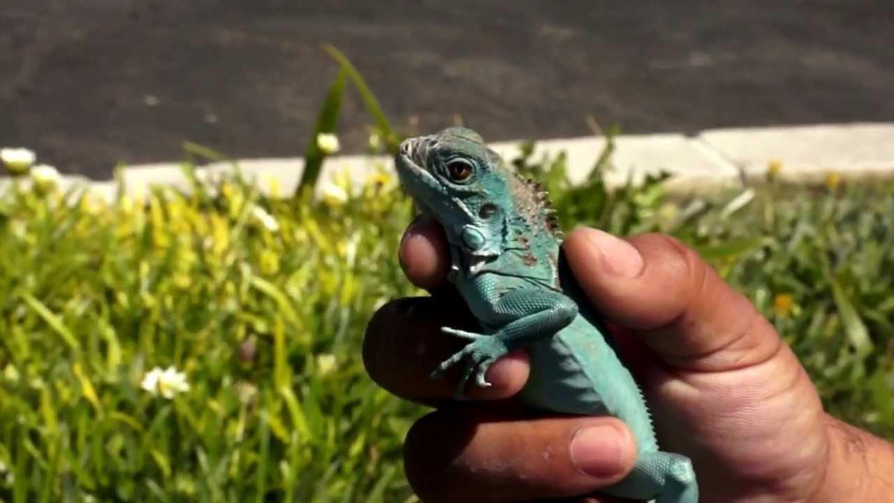 Blue Iguana Video