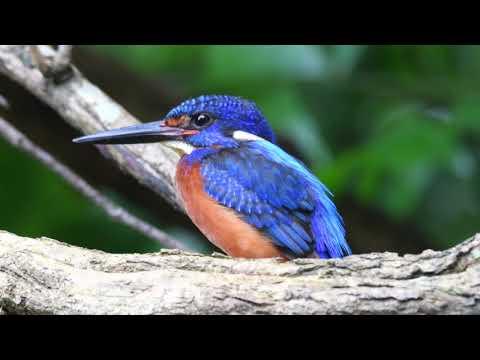 Blue Eared Kingfisher 4k