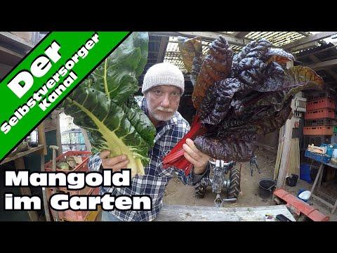 Mangold im Garten Telegramm