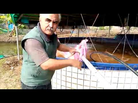 Revolutionary Technique In Biofloc Super Intensive Fish Farming, Zero Water Exchange & Free Feed.