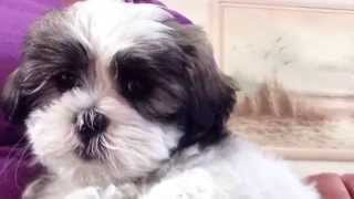 Maltese Shih Tzu For Sale In Ocala Florida - Maggie