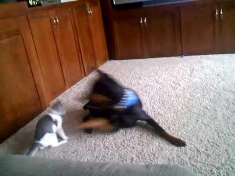 Tito vs Jazzy - Doberman attacks kitten.