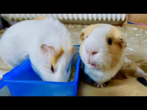 10 Reasons NOT TO Get Guinea Pigs