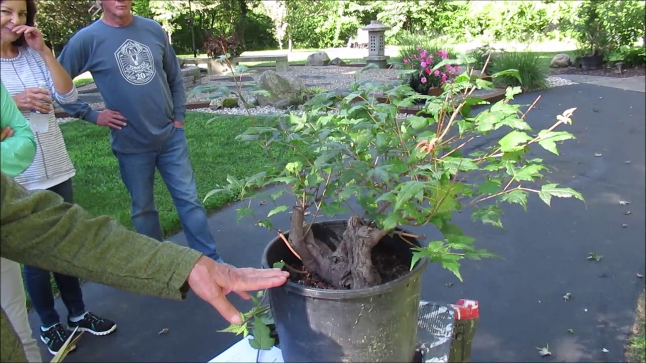 Bonsai Ace Jim Doyle Advises Acbs On Collected Maples Youtube