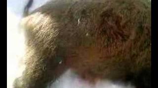 domuz avı habişke suleyman saritaş vuran