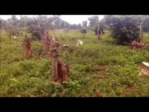 Nimbia Plantation Godogodo Chiefdom