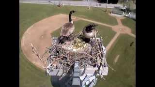 Goslings jumping - Sandpoint webcam - 05/29/2013