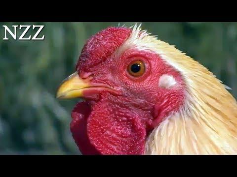 Stolze Gockel, flotte Hennen: Fakten zum Huhn - Dokumentation von NZZ Format (2007)