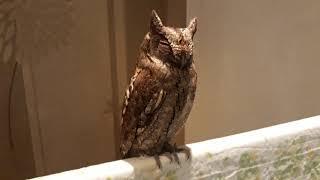 Сова сплюшка Морок - магическая птица!