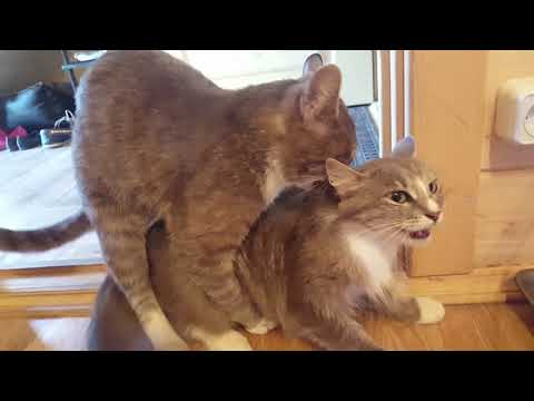 Как ебуца кошки