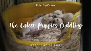 The Cutest Chihuahua Puppies Cuddling | Furbo Dog Camera