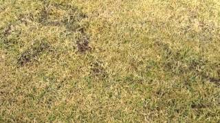 Cylinder Lawn Mowing ( Prepare Lawn ) Part 1/6