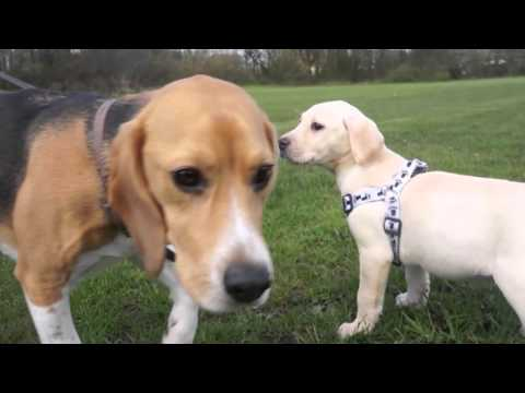 Beagle and puppy Labrador meet for the first time