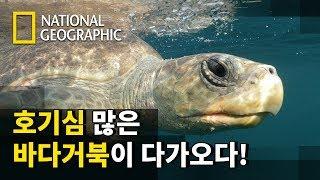 태평양을 4000km나 가로질러온 바다 거북과 함께 헤…