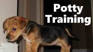How To Potty Train A Borkie Puppy - Borkie House Training Tips - Housebreaking Borkie Puppies Fast
