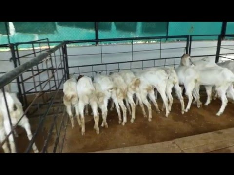 jamunapari goat Farming in Pune