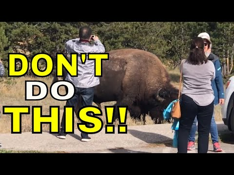 TOURIST APPROACH HUGE BISON IN YELLOWSTONE  NATIONAL PARK