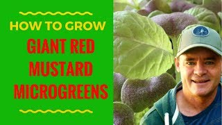 How to Grow Giant Red Mustard Microgreens & More