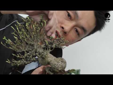 小品盆栽〜くちなしの手入れ〜世界盆栽大会デモンストレーション