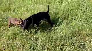 Staffordshire Bull Terrier Vs Pit Bull