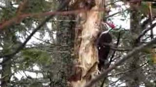 Pileated Woodpecker Wrecking A Tree