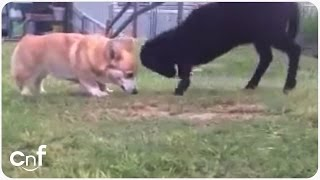 Adorable Corgi and Lamb Playing | Unlikely Buddies