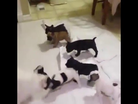 French bulldog dad plays with his puppies