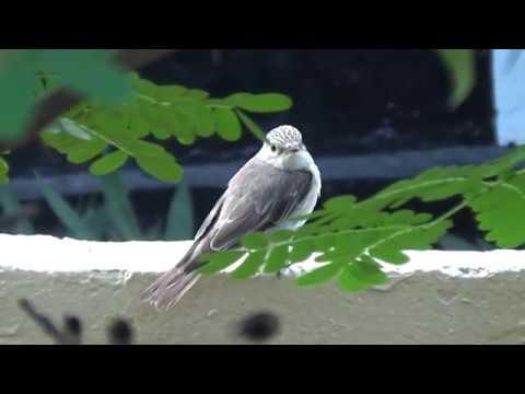 Birds TZ... Spotted Flycatcher