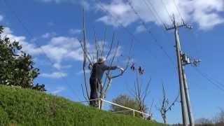 アオギリの剪定~デンのハーブガーデンより~自然のハーバルライフ-HERB-Japanese Herb Garden