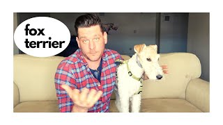 This Dog Means business (Fox Terrier Review)